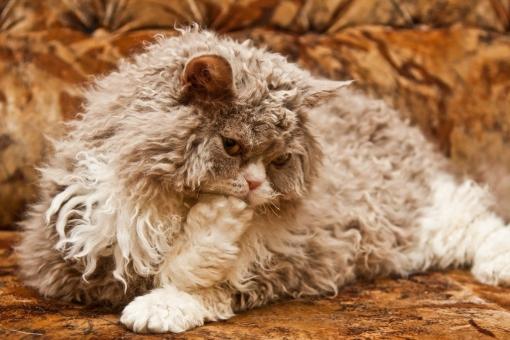 Геном кудрявых кошек заинтересовал ученых - Фото
