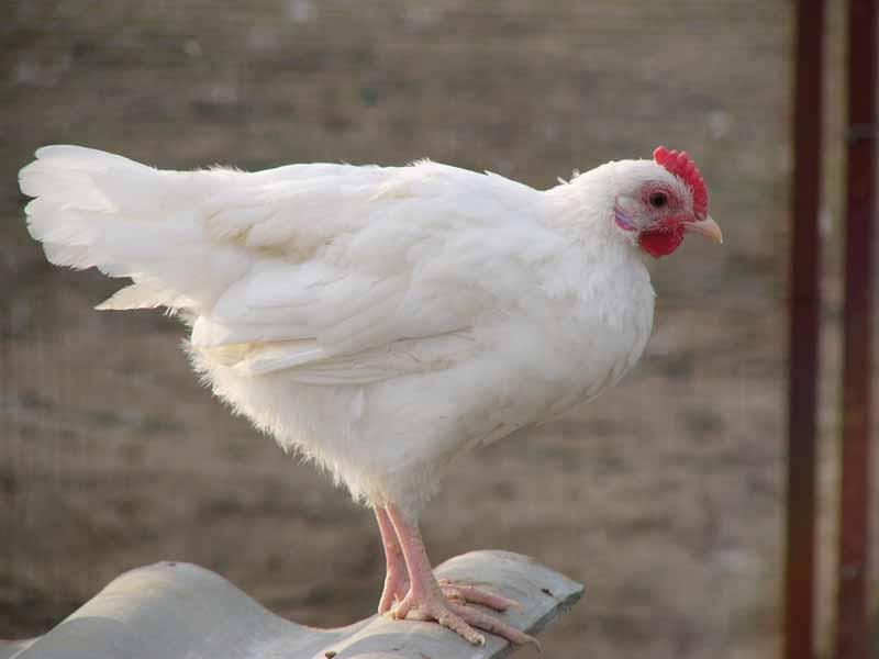 курица появилась яйца ученые