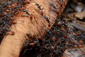 Муравьи помогут в создании антибиотиков нового поколения
