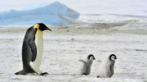 Ученые обнаружили сходство в структурах колоний пингвинов и двухмерного состояния вещества