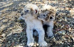 В ЮАР родились первые львята, полученные путем искусственного осеменения
