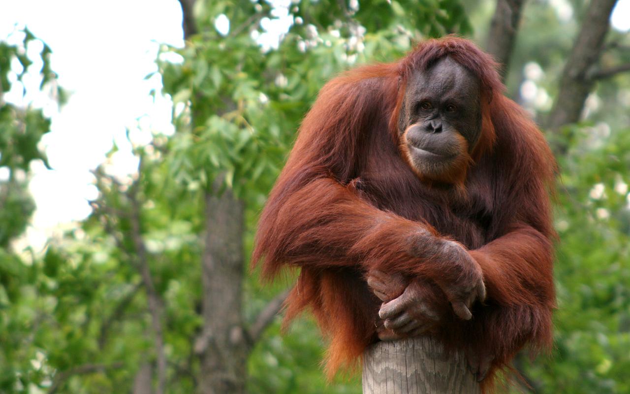 Орангутаны способны воспринимать прошлое
